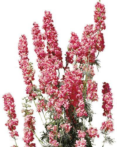 600 Graines de Pied-d/'alouette BLANC DELPHINIUM Consolida Fleurs à Couper