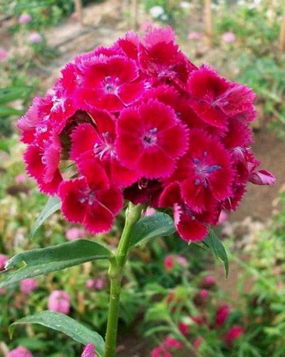 Plants d 39 oeillet de poete vente en gros dianthus barbatus - Oeillets de poete ...